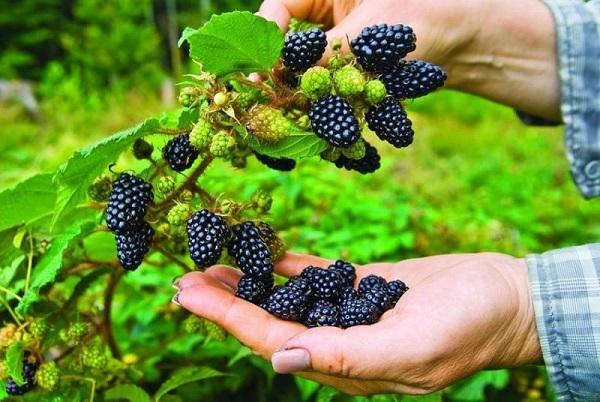 raspberry la qua gi nhung cong dung tuyet voi cua raspberry - Raspberry là quả gì? Những công dụng tuyệt vời của raspberry