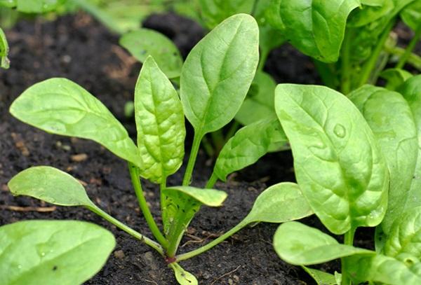 rau bina la gi loi ich cach dung cach trong va cach che bien rau bina 5 - Rau bina là gì? Lợi ích, Cách dùng, Cách trồng và Cách chế biến rau Bina