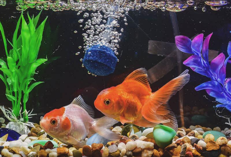 Tả cá vàng lớp 5 - bài văn miêu tả con cá vàng bơi trong bể kính