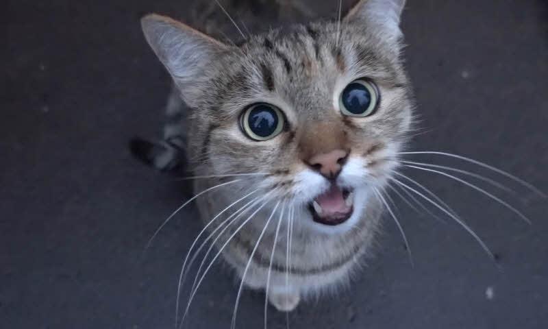 ta con meo nha em dang nuoi - Tả con mèo nhà em đang nuôi