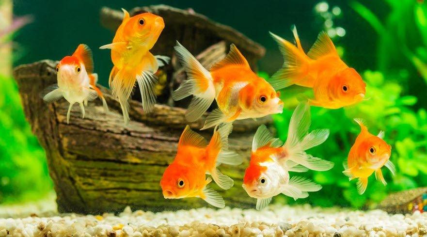 be ca vang canh - Tả con cá vàng đang bơi trong bể cá cảnh lớp 5 hay nhất - 3 bài văn miêu tả bể cá vàng