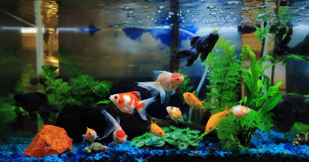 ca vang 1 - Tả con cá vàng đang bơi trong bể cá cảnh lớp 5 hay nhất - 3 bài văn miêu tả bể cá vàng