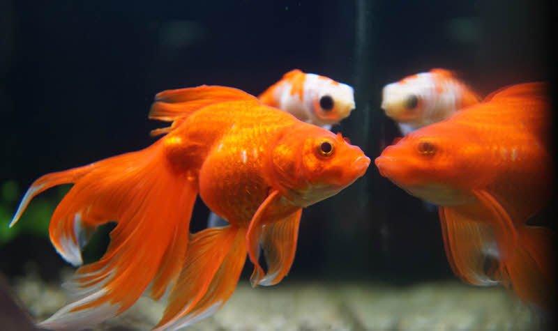 ca vang - Tả con cá vàng lớp 2 hay - 4 đoạn văn ngắn miêu tả cá vàng trong bể cá