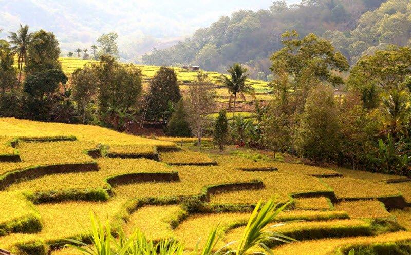canh dong lua bac thang - Tả cánh đồng lúa quê em lớp 4 hay nhất 3 bài văn vào mùa gặt, buổi sáng đẹp trời, ngày mùa