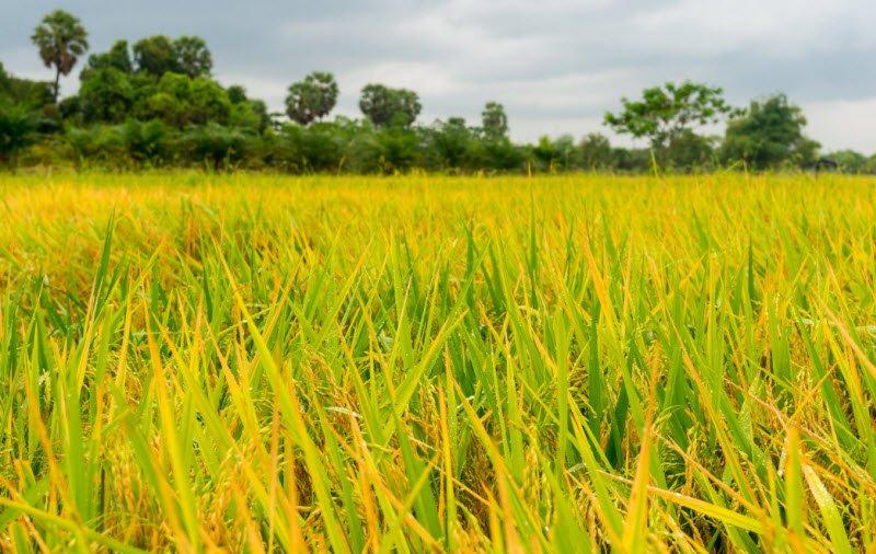 canh dong lua chin - Tả cánh đồng lúa quê em lớp 4 hay nhất 3 bài văn vào mùa gặt, buổi sáng đẹp trời, ngày mùa