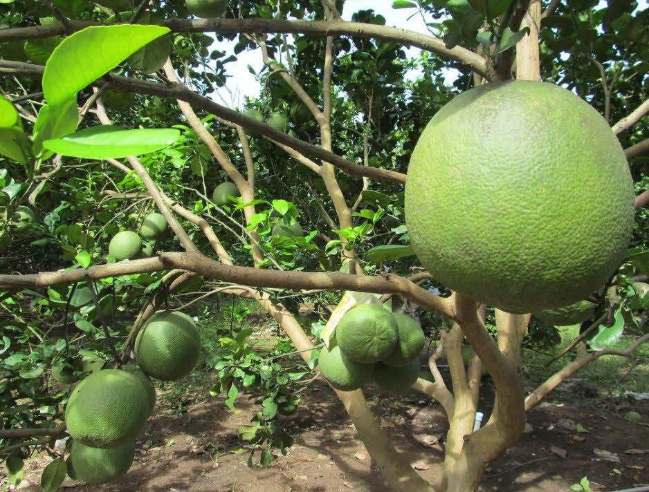 cay an qua cay buoi - Tả cây ăn quả lớp 2 hay - 4 đoạn văn ngắn miêu tả cây ổi, cây bưởi,cây khế, cây nhãn