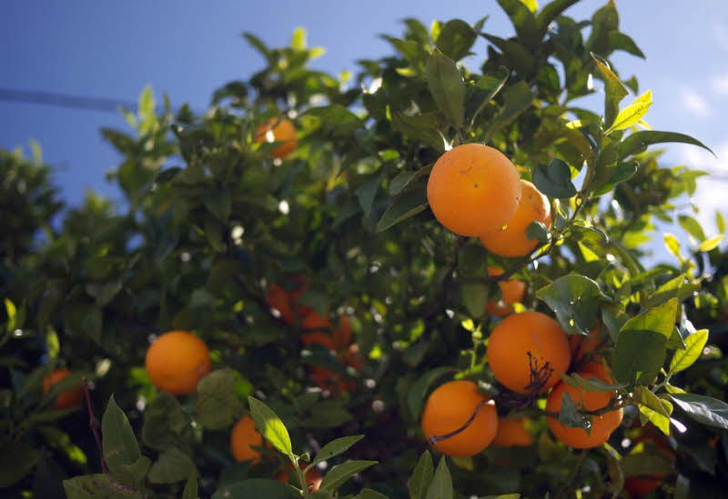 cay an qua cay cam do - Tả cây ăn quả lớp 4 hay nhất - 3 bài văn tả cây nhãn, cây cam