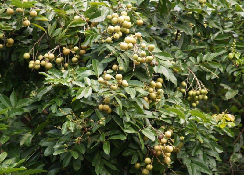 cay an trai cay nhan - Tả cây ăn quả lớp 2 hay - 4 đoạn văn ngắn miêu tả cây ổi, cây bưởi,cây khế, cây nhãn