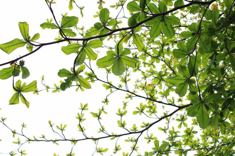 cay bang xanh la - Tả cây bàng lớp 2 hay - 4 đoạn văn ngắn miêu tả cây bàng ở trường em