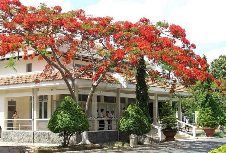 cay bong mat cay phuong - Tả cây bóng mát lớp 4 ngắn gọn - 3 bài văn miêu tả cây bàng cây phượng vĩ hay nhất