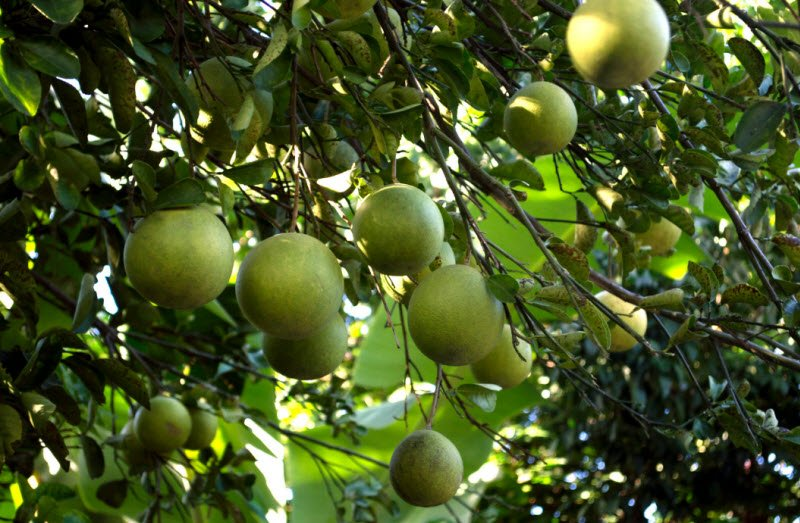 cay buoi 1 - Tả cây bưởi lớp 4 hay nhất - 3 bài văn ngắn miêu tả cây bưởi