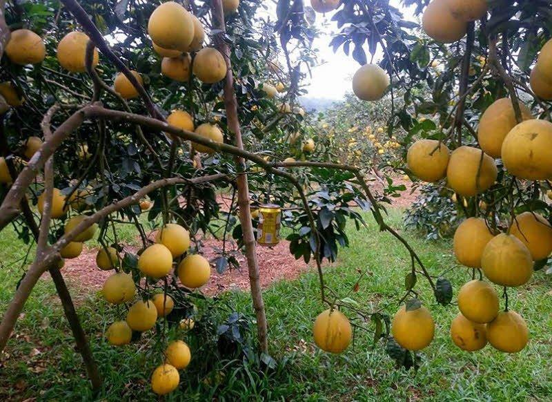 cay buoi dien - Tả cây bưởi lớp 2 hay - 4 đoạn văn ngắn miêu tả cây bưởi da xanh, bưởi diễn, năm roi
