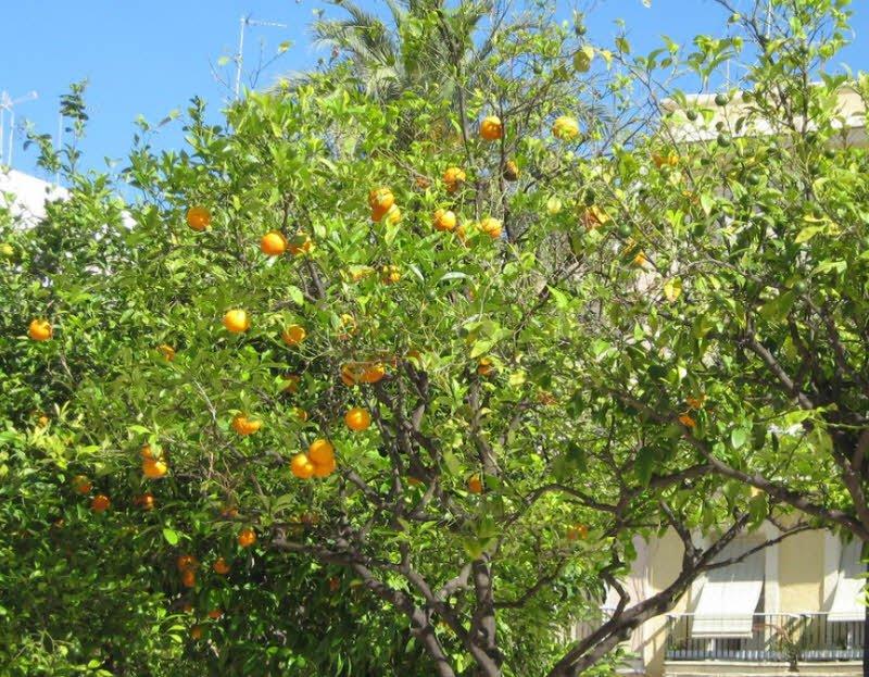 cay cam 1 1 - Tả cây cam lớp 4 ngắn gọn - 3 bài văn hay miêu tả cây cam