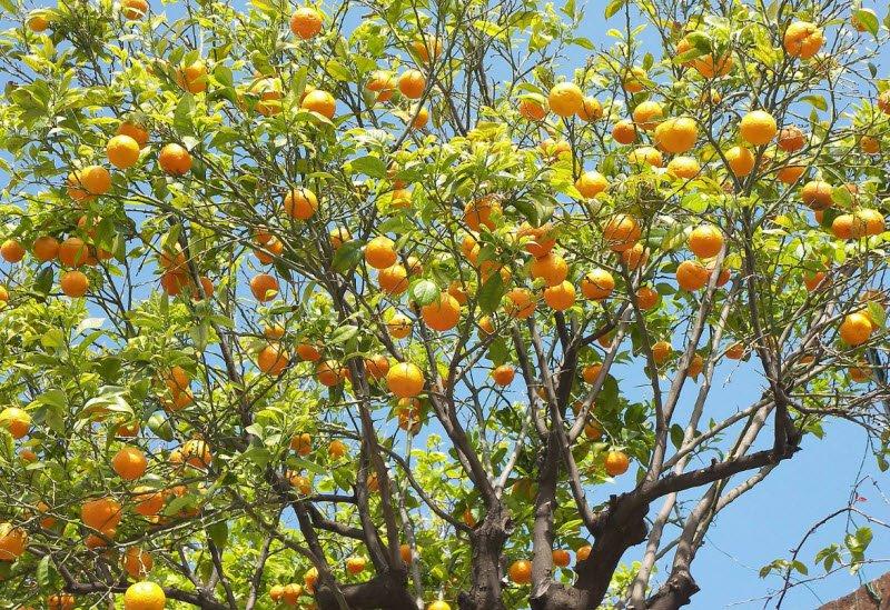 cay cam nha em - Tả em bé lớp 5, bài văn miêu tả cây cam đang mùa quả chín vườn nhà em ngắn gọn hay nhất