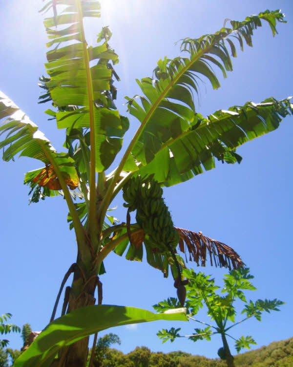 cay chuoi dang tro buong - Tả cây chuối lớp 4 hay - 3 bài văn ngắn miêu tả cây chuối đang trổ buồng