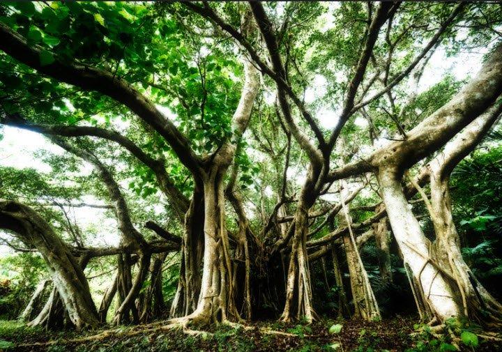 cay da co thu - Tả cây đa cổ thụ lớp 4 hay nhất - 3 bài văn miêu tả cây đa ở làng em trường em
