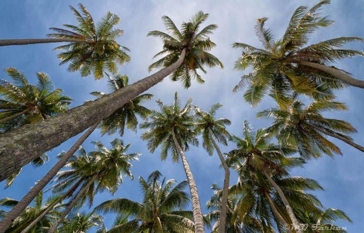 cay dua nhin tu duoi len - Tả cây dừa lớp 2 hay nhất - 4 đoạn văn ngắn miêu tả cây dừa