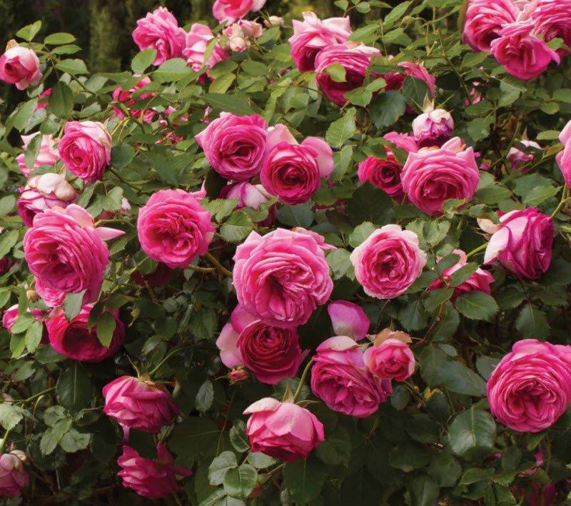 cay hoa hong - Tả hoa hồng lớp 5 hay nhất - 3 bài văn miêu tả bông hoa hồng ngắn gọn