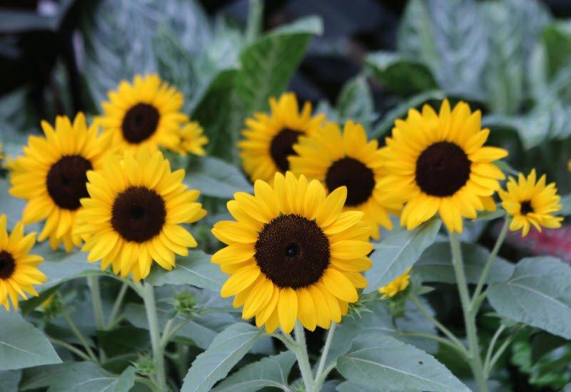 cay hoa huong duong - Tả hoa hướng dương lớp 4 hay nhất - 3 bài văn miêu tả hoa mặt trời ngắn gọn