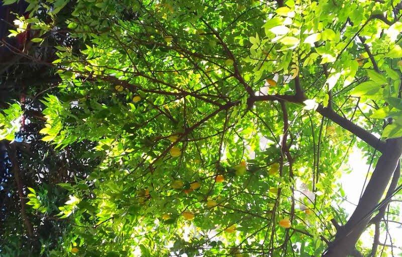 cay khe - Tả cây ăn quả lớp 2 hay - 4 đoạn văn ngắn miêu tả cây ổi, cây bưởi,cây khế, cây nhãn