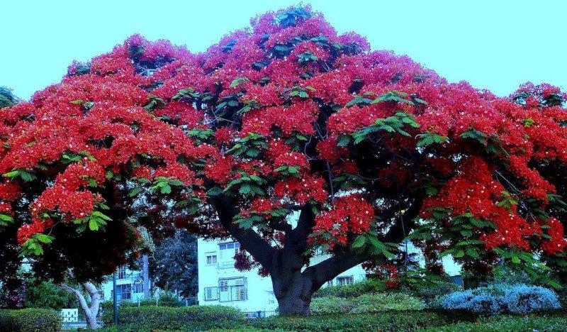 cay phuong co thu 1 - Tả một cây cổ thụ lớp 5 hay nhất - 3 bài văn miêu tả cây đa, cây si, cây phượng ngắn gọn