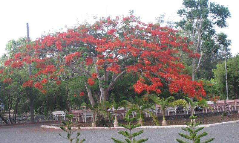 cay phuong co thu - Tả cây cổ thụ lớp 4 hay nhất - 3 bài văn ngắn miêu tả cây đa, cây si, cây phượng cổ thụ lâu năm đầu làng