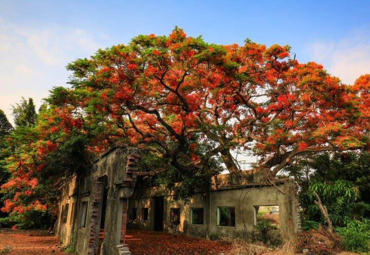 cay phuong - Tả cây phượng lớp 2 hay - 4 đoạn văn ngắn miêu tả cây phượng vĩ
