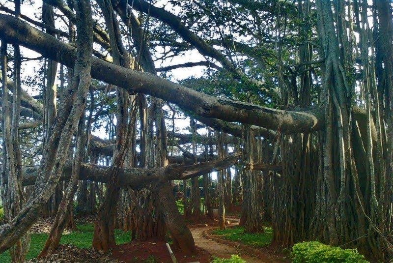 cay xanh co thu - Tả một cây cổ thụ lớp 5 hay nhất - 3 bài văn miêu tả cây đa, cây si, cây phượng ngắn gọn