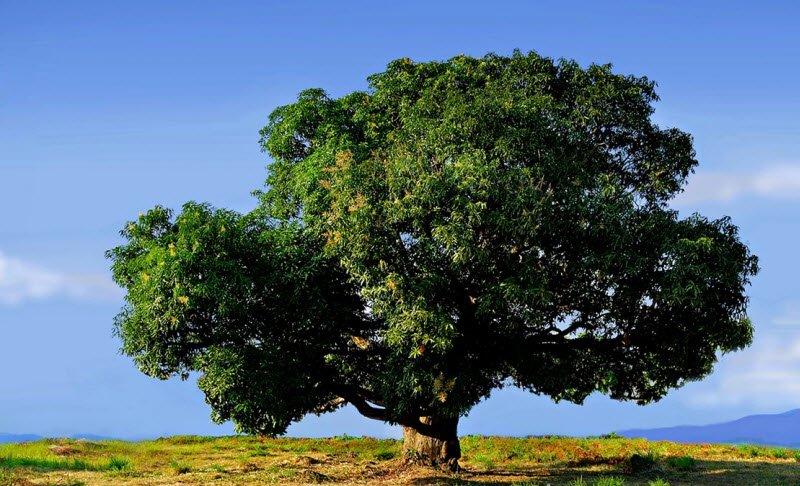 cay xoai co thu - Tả cây xoài lớp 4 hay nhất - 3 bài văn ngắn miêu tả cây xoài mủa quả chín mango