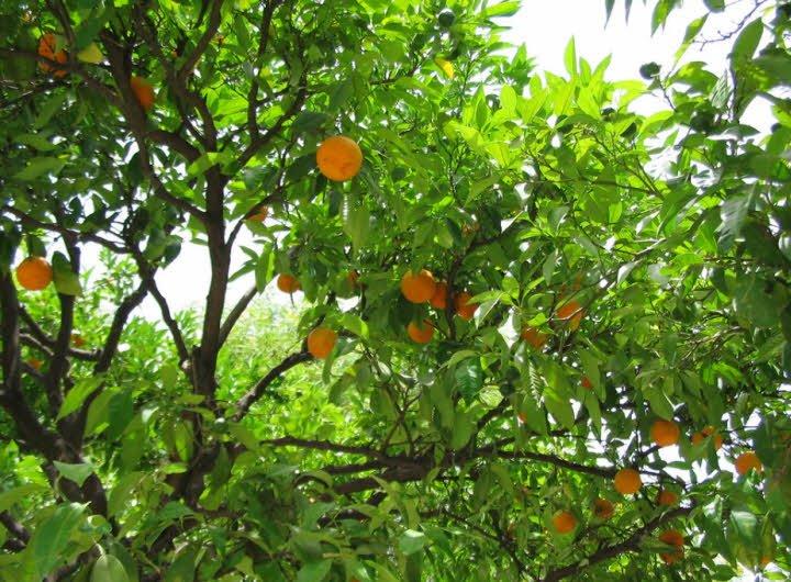 caycam 1 1 - Tả cây cam lớp 4 ngắn gọn - 3 bài văn hay miêu tả cây cam