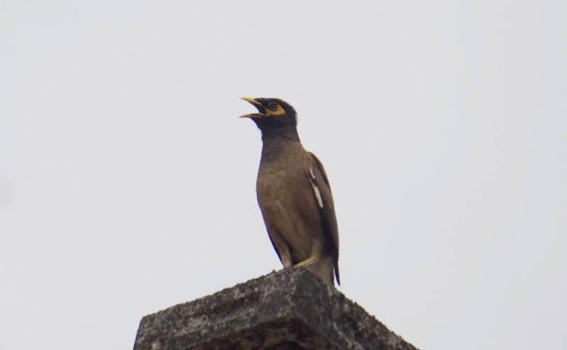 chim sao - Tả con chim lớp 4 hay nhất - 3 bài văn ngắn miêu tả chim sẻ, chim sâu, chim sáo