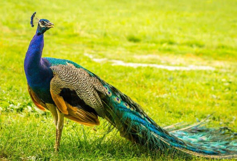 con chim cong - Tả con công lớp 2 hay - 4 đoạn văn ngắn miêu tả con công