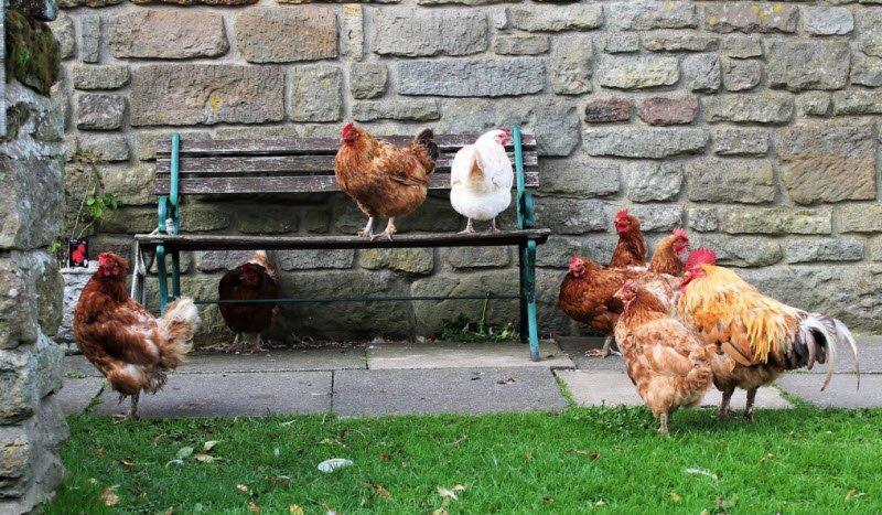 con ga mai 1 - Tả con gà mái lớp 4 hay nhất - 3 bài văn miêu tả gà mái nhà em
