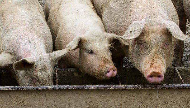 con heo 1 - Tả con lợn lớp 4 hay nhất - 3 bài văn ngắn miêu tả con heo pig