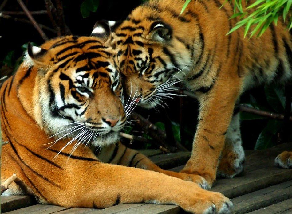 con ho trong so thu - Tả con hổ trong vườn bách thú lớp 4 hay nhất - 3 bài văn miêu tả hổ ngắn gọn