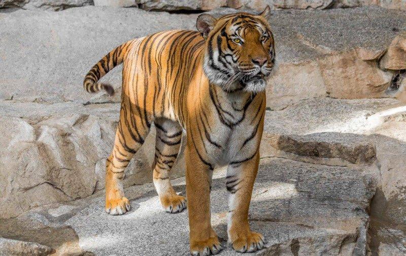 con ho vuon bach thu - Tả con hổ trong vườn bách thú lớp 4 hay nhất - 3 bài văn miêu tả hổ ngắn gọn