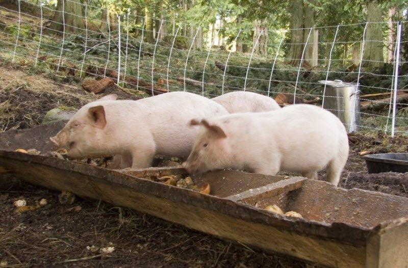 con lon 1 - Tả con lợn lớp 4 hay nhất - 3 bài văn ngắn miêu tả con heo pig
