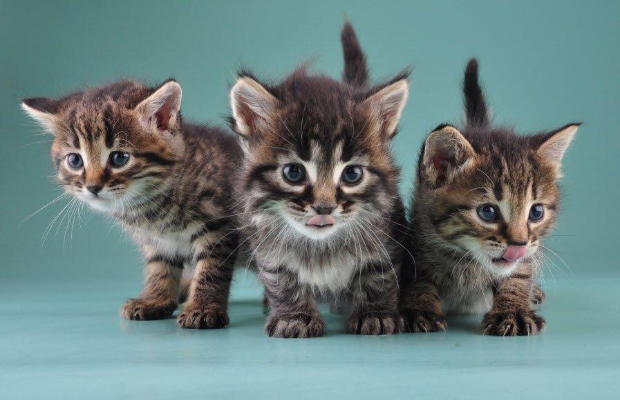 con meo 1 - Tả con mèo lớp 5, bài văn miêu tả con mèo ngắn gọn hay nhất