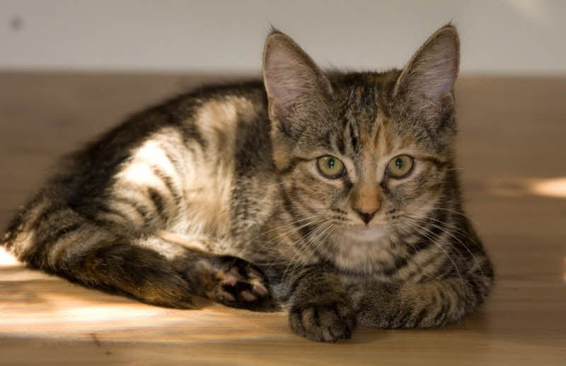 con meo nha em - Tả con mèo, mèo tam thể lớp 4 hay nhất - 3 bài văn ngắn