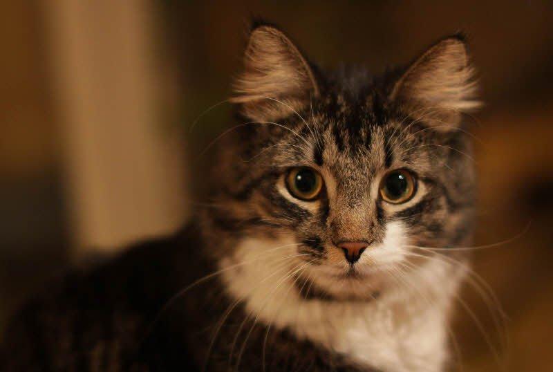 con meo tam the - Tả con mèo, mèo tam thể lớp 4 hay nhất - 3 bài văn ngắn