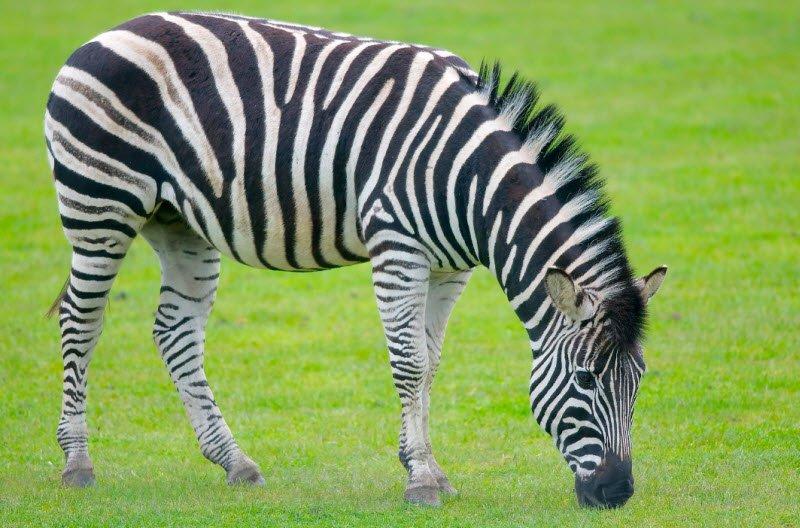 con ngua van - Tả con ngựa gỗ lớp 4 hay nhất - 3 bài văn ngắn gọn tả con ngựa vằn