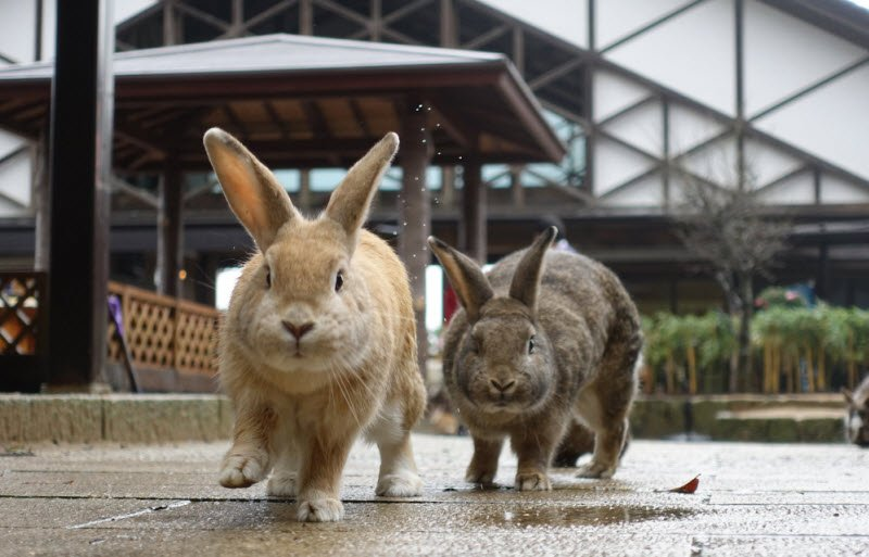con tho vang xam - Tả con thỏ lớp 4 hay nhất - 3 bài văn ngắn gon miêu tả thỏ bông nhà em trong vườn thú