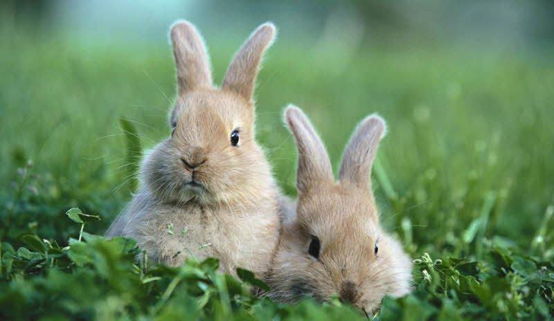 con tho xam - Tả con thỏ lớp 2 hay - 4 đoạn văn ngắn miêu tả con thỏ