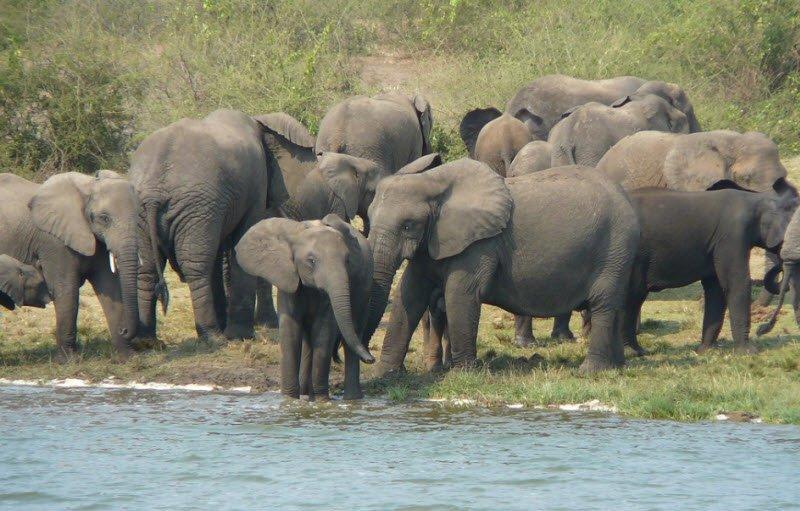con voi hoang da - Tả con voi lớp 4 hay nhất - 3 bài văn miêu tả con voi trong sở thú