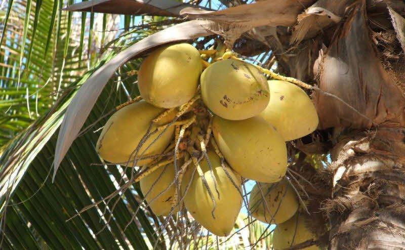 dua - Tả quả dừa lớp 2 hay nhất