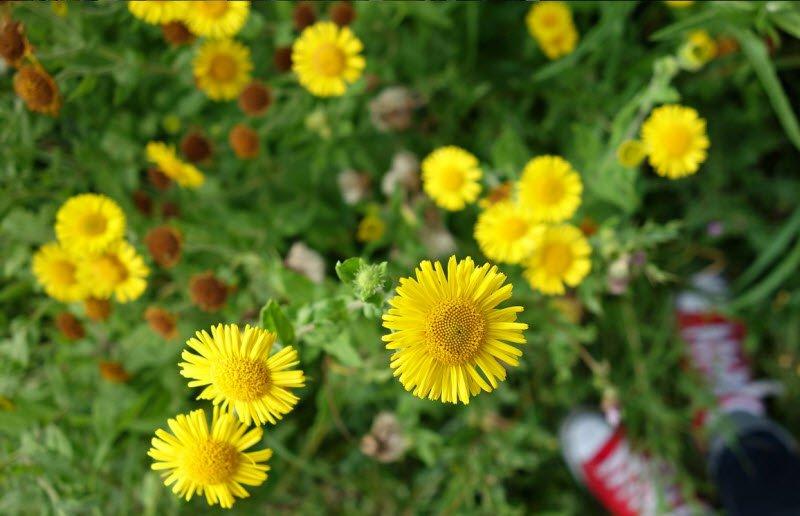 hoa cuc 1 - Tả hoa cúc lớp 5 hay nhất - 3 bài văn miêu tả hoa cúc ngày tết, hoa cúc vàng trắng ngắn gọn