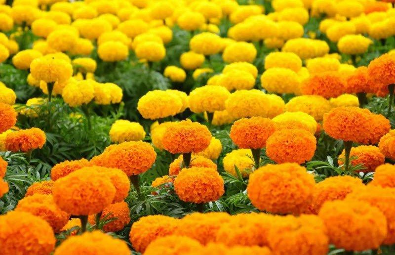 hoa cuc van tho - Tả hoa cúc lớp 5 hay nhất - 3 bài văn miêu tả hoa cúc ngày tết, hoa cúc vàng trắng ngắn gọn