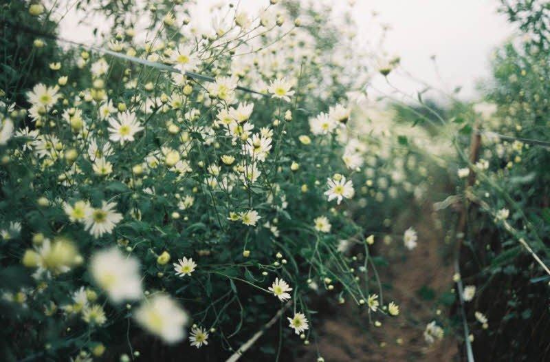 hoa cuc - Tả hoa cúc lớp 2 hay - 4 đoạn văn ngắn miêu tả hoa cúc