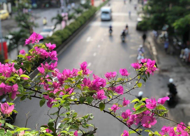 hoa giay 1 - Tả giàn hoa giấy, hoa thiên lý hay nhất - Tả giàn cây leo hoa giấy ngắn gọn