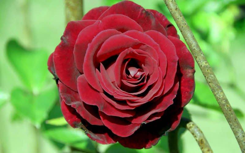 hoa hong nhung - Tả bông hoa hồng lớp 2 hay nhất - 4 đoạn văn ngắn miêu tả hoa hồng